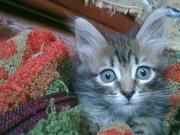 отдам срочно котенка в очень хорошие руки